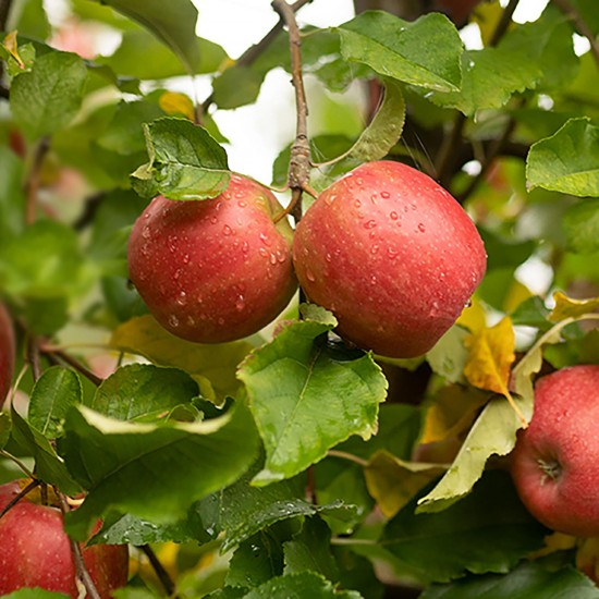 Little Freddie Organic Simple Pink Lady Apple 70g (4 mos+)